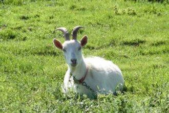 Farm Goat